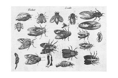 Black and White Scientific Illustrations of Winged Insects