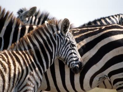 Black and White Stripe Pattern of a Plains Zebra Colt, Kenya-William Sutton-Photographic Print
