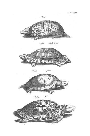 Black and White Turtles in Profile--Art Print