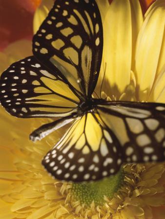 https://imgc.artprintimages.com/img/print/black-and-yellow-butterfly-on-yellow-flower_u-l-q10x0mb0.jpg?p=0
