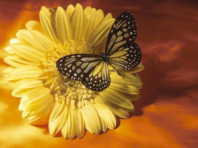 Black and Yellow Butterfly on Yellow Flower--Photographic Print