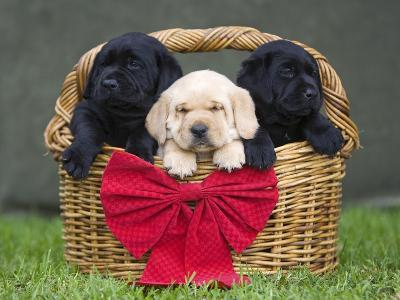 Black and yellow labrador retriever puppies in basket with red bow-Ron Dahlquist-Photographic Print
