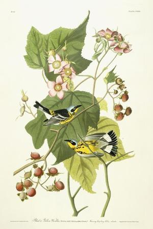 https://imgc.artprintimages.com/img/print/black-and-yellow-warbler-and-flowering-raspberry-c-1826-1838_u-l-ppsc8q0.jpg?artPerspective=n
