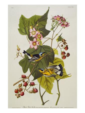 https://imgc.artprintimages.com/img/print/black-and-yellow-warbler-magnolia-warbler_u-l-pcelrf0.jpg?artPerspective=n