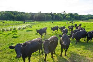 Black Angus Cattle on grassy field, Vermont, USA