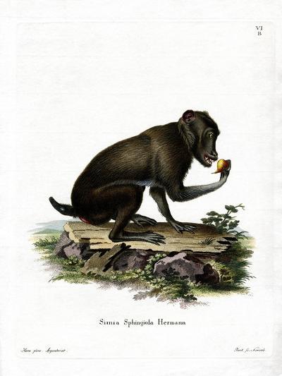 Black Baboon--Giclee Print