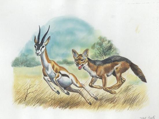 Black-Backed Jackal Canis Mesomelas Hunting Antelope--Giclee Print