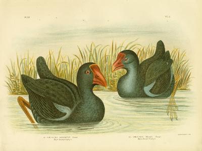 Black-Backed Porphyrio, 1891-Gracius Broinowski-Giclee Print