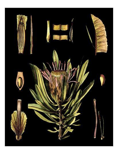 Black Background Floral Studies IV-Vision Studio-Art Print