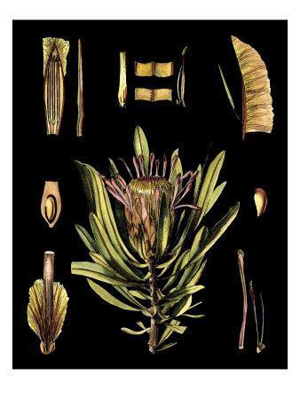 https://imgc.artprintimages.com/img/print/black-background-floral-studies-iv_u-l-p8lfjr0.jpg?p=0