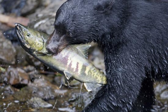 Black Bear and Chum Salmon in Alaska--Photographic Print