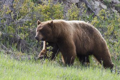 Black Bear Boar, Brown Color Phase, Blue Eyes-Ken Archer-Photographic Print
