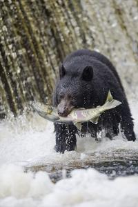 Black Bear Catching Spawning Salmon in Alaska