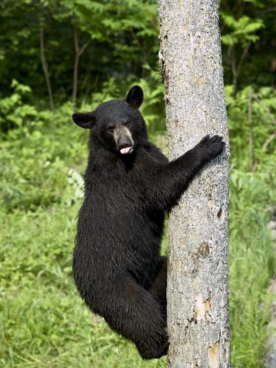 Black Bear Climbing a Tree, in Captivity, Sandstone, Minnesota, USA-James Hager-Photographic Print