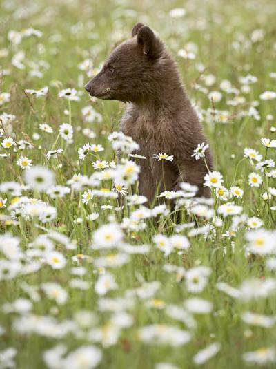 Black Bear Cub Among Oxeye Daisy, in Captivity, Sandstone, Minnesota, USA-James Hager-Photographic Print