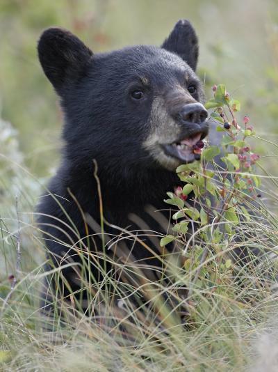Black Bear Cub Eating Saskatoon Berries, Waterton Lakes National Park, Alberta-James Hager-Photographic Print