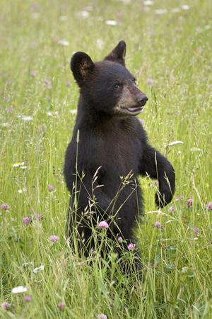 Black Bear Cub in Meadow of Wildflowers Minnesota Spring Captive-Design Pics Inc-Photographic Print
