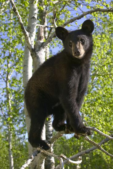 Black Bear Cub in Tree Minnesota Forest Captive Summer-Design Pics Inc-Photographic Print