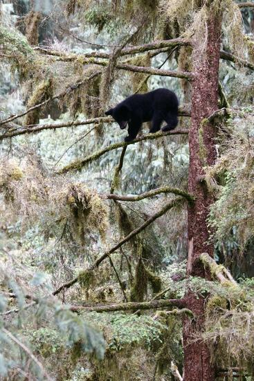 Black Bear Cub Up a Tree for Protection Against a Male Grizzly at Anan Creek Bear Observatory-Design Pics Inc-Photographic Print