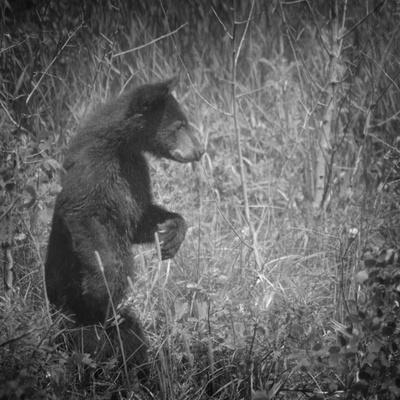 Black Bear Cub-Roberta Murray-Photographic Print