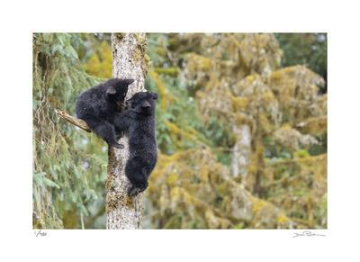 Black Bear Cubs in Tree-Donald Paulson-Giclee Print