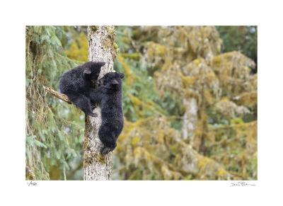 Black Bear Cubs in Tree-Donald Paulson-Giclee Print