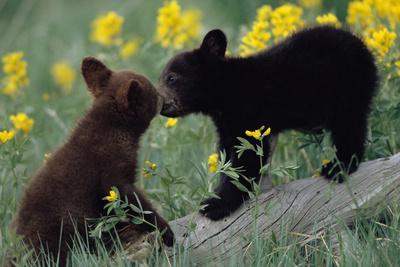 https://imgc.artprintimages.com/img/print/black-bear-cubs-pecking_u-l-pzs0mx0.jpg?p=0