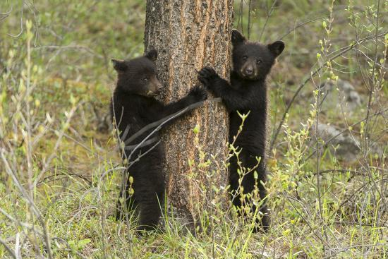 Black Bear Cubs, Ursus Americanus, Hug a Tree While Looking for their Mother-Barrett Hedges-Photographic Print