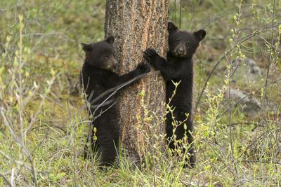 https://imgc.artprintimages.com/img/print/black-bear-cubs-ursus-americanus-hug-a-tree-while-looking-for-their-mother_u-l-pwdoax0.jpg?p=0