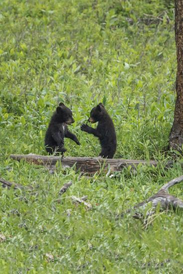 Black Bear Cubs (YNP)-Galloimages Online-Photographic Print