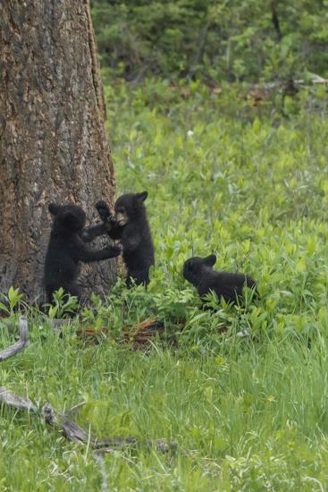 Black Bear Cubs-Galloimages Online-Photographic Print