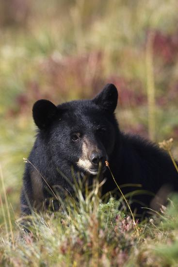 Black Bear, Early Autumn-Ken Archer-Photographic Print