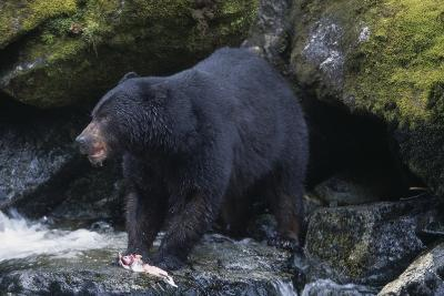 Black Bear Eating Fish in Stream-DLILLC-Photographic Print