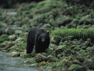Black Bear Fishing-Joel Sartore-Photographic Print