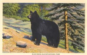 Black Bear, Glacier Park, Montana