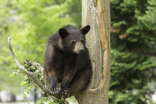 Black Bear in a Tree-Josef Pittner-Photographic Print