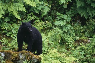 Black Bear in Forest-DLILLC-Photographic Print