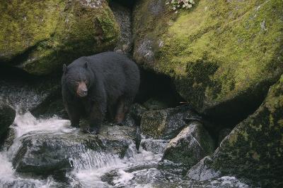 Black Bear in Stream-DLILLC-Photographic Print