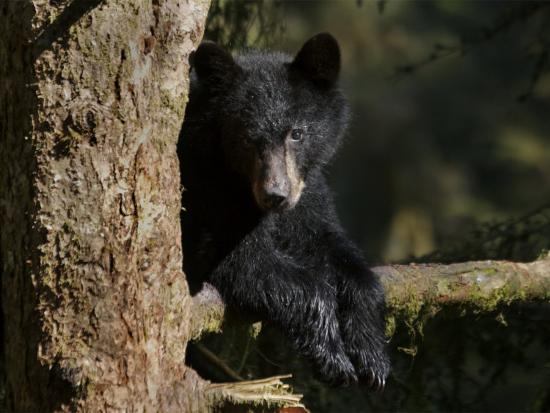 Black Bear on Tree Branch in Tongass National Forest-Melissa Farlow-Photographic Print