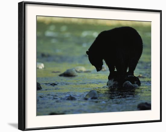 Black Bear Perched on Rock Watching for Fish-Joel Sartore-Framed Photographic Print