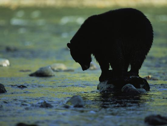 Black Bear Perched on Rock Watching for Fish-Joel Sartore-Photographic Print