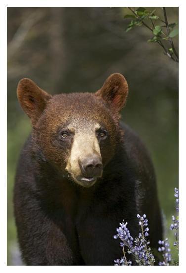 Black Bear portrait, North America-Tim Fitzharris-Art Print