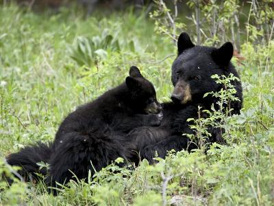 Black Bear Sow Nursing a Spring Cub, Yellowstone National Park, Wyoming, USA-James Hager-Photographic Print