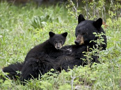 Black Bear Sow Nursing a Spring Cub, Yellowstone National Park, Wyoming, USA-James Hager-Photographic Print