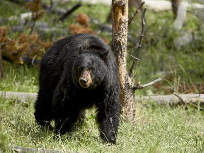 Black Bear Sow, Yellowstone National Park, Wyoming, USA-James Hager-Photographic Print
