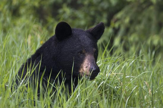 Black Bear, Spring rain-Ken Archer-Photographic Print