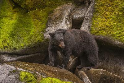 Black Bear Standing on Boulders, Tongass National Forest Alaska, USA-Jaynes Gallery-Photographic Print