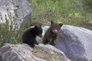 Black Bear Two Cubs Playing on Rocks