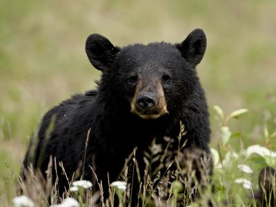 Black Bear (Ursus Americanus), Alaska Highway, British Columbia, Canada, North America--Photographic Print