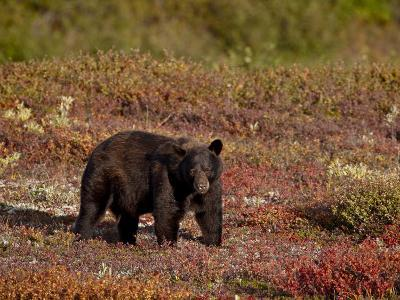 Black Bear (Ursus Americanus) Among Fall Color, Denali National Park and Preserve, Alaska-James Hager-Photographic Print